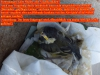 Kohlmeise Parus major, Paridae, 08.05.2020