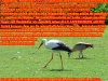 Weissstorch Ciconia ciconia, Ciconiidae, 26.04.2020