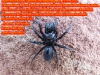 Tapezierspinne cf. Atypus piceus, Atypidae, 19.06.2020